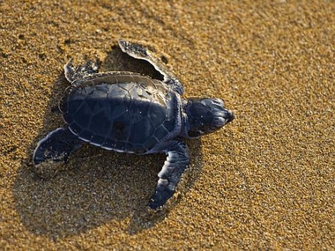 Mexico executes efforts to preserve threatened sea turtles